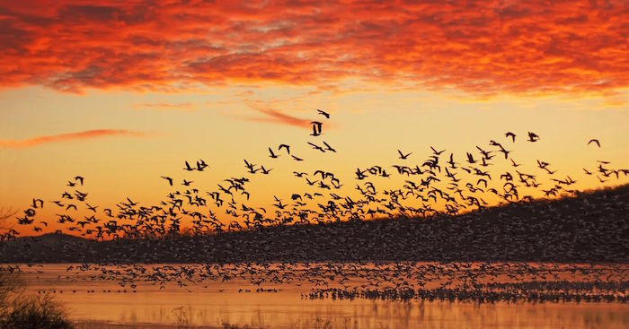 Flocks of birds flying over water while the sun is setting causing vibrant orange clouds