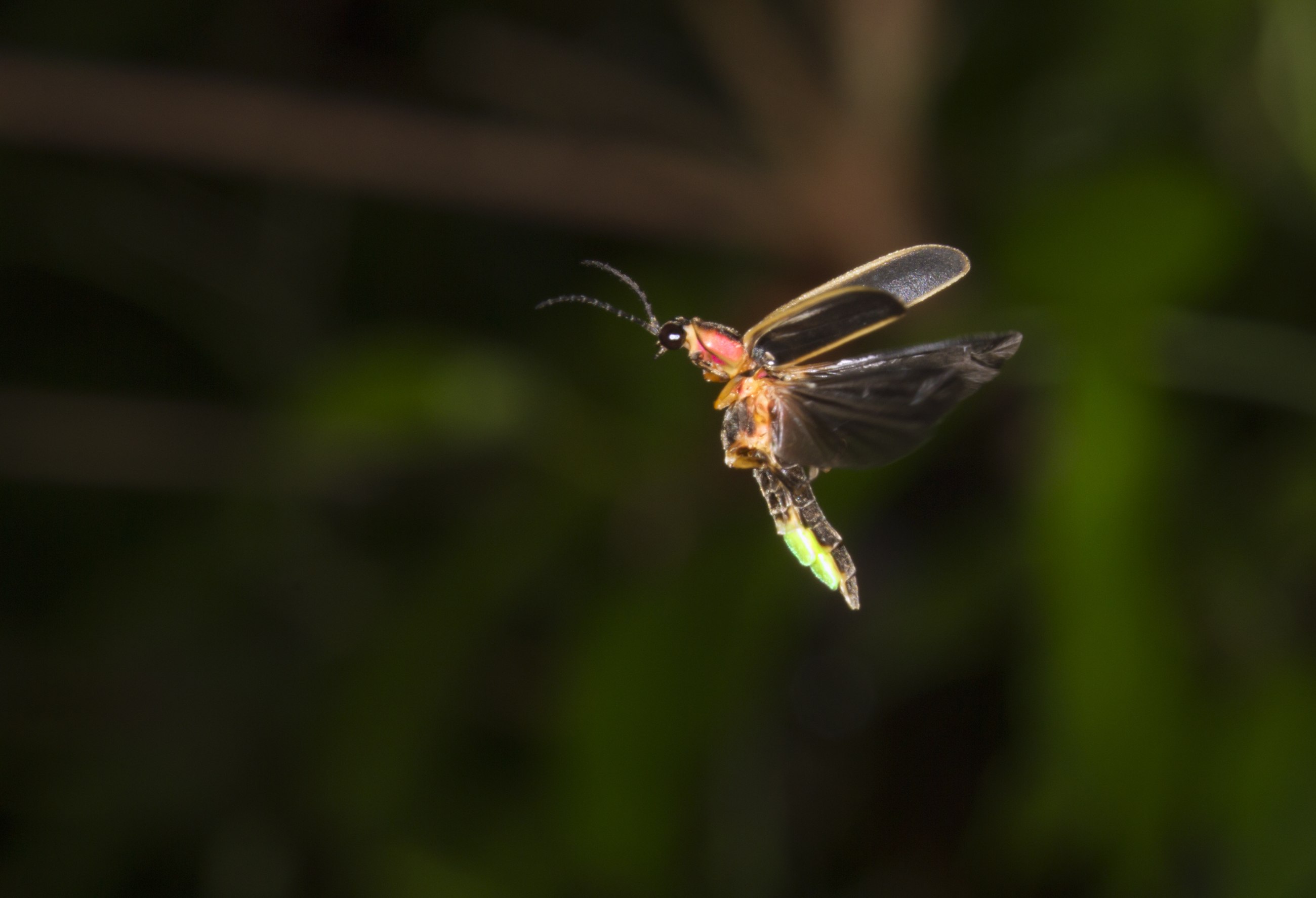 Fireflies Need the Dark to Talk with Light Image
