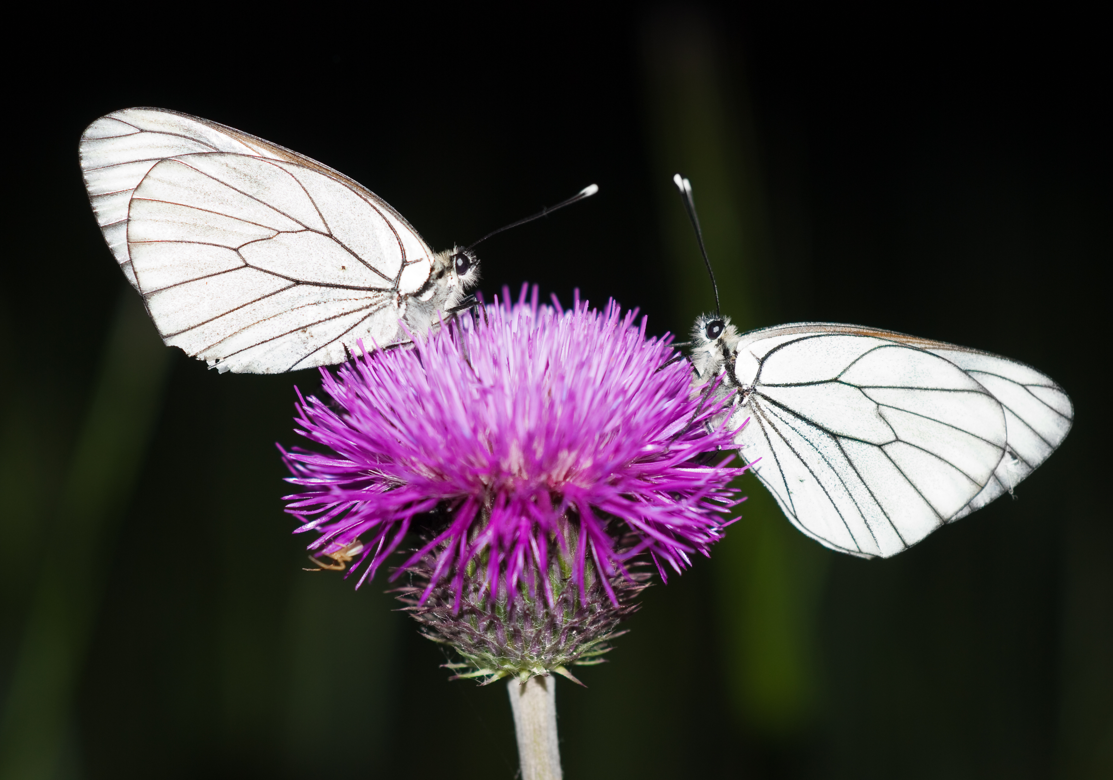 Lights at Night Turn Nocturnal Pollinators Off Image