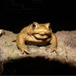 Artificial Light at Night Affects American Toad Metamorphosis and Growth