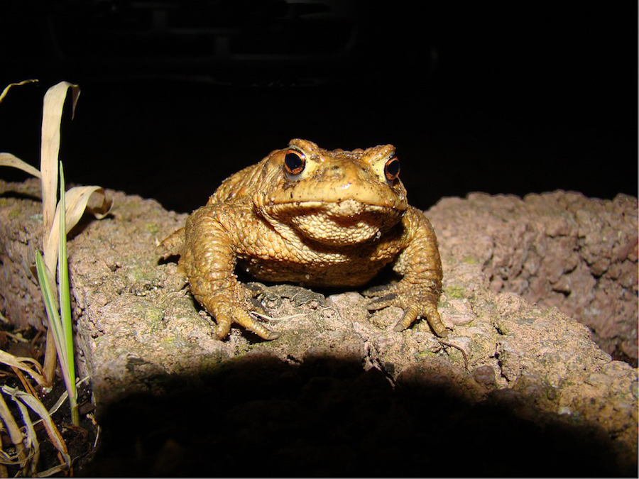 Artificial Light at Night Affects American Toad Metamorphosis and Growth Thumbnail