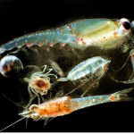 Artificial Light Affects Zooplankton in Arctic