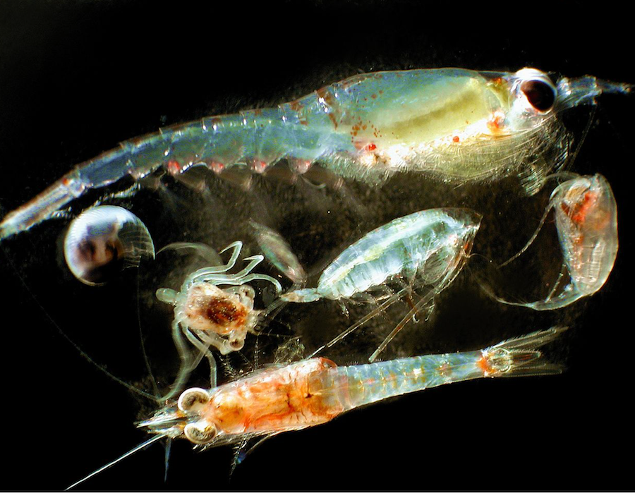 Artificial Light Affects Zooplankton in Arctic Thumbnail